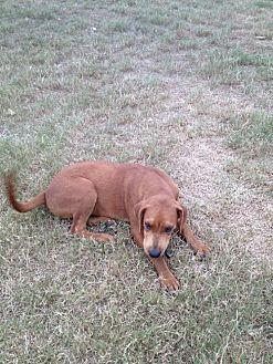 Labrador Retriever Mix Dog for adoption in Olympia, Washington - Baruk W