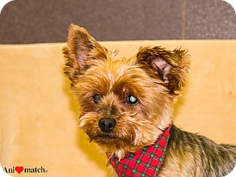 Yorkie, Yorkshire Terrier Dog for adoption in Ile-Perrot, Quebec - Flash