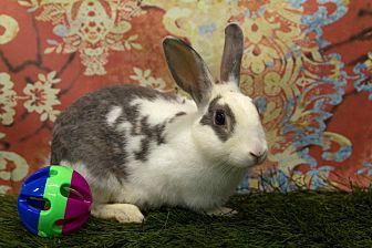 English Spot for adoption in San Diego, California - Sally