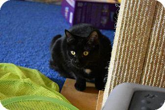 Domestic Shorthair Cat for adoption in Athens, Georgia - Maya