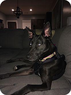 German Shepherd Dog Mix Dog for adoption in Nashville, Tennessee - Lala