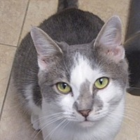 Domestic Shorthair Cat for adoption in oakland park, Florida - Mischief