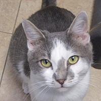 Adopt A Pet :: Mischief - oakland park, FL