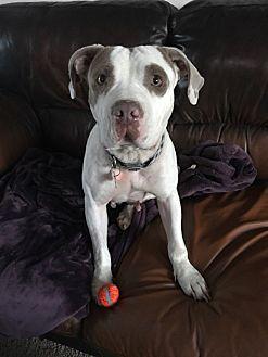 Staffordshire Bull Terrier Mix Dog for adoption in Rancho Santa Fe, California - Mellie