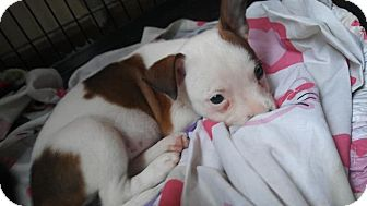 Chihuahua/Terrier (Unknown Type, Small) Mix Puppy for adoption in Homestead, Florida - Pokey