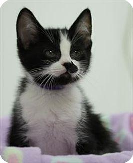 Maine Coon Kitten for adoption in Rocklin, California - Blinn & Cindy Lou