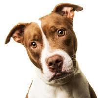 Adopt A Pet :: Star - Columbiana, AL