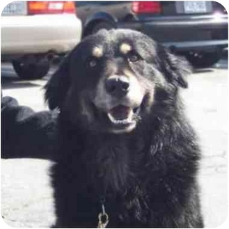 Rottweiler/Chow Chow Mix Dog for adoption in West Los Angeles, California - Murphy
