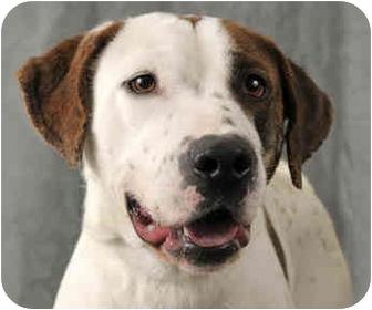 American Bulldog/Pointer Mix Dog for adoption in Chicago, Illinois - Eisenhower