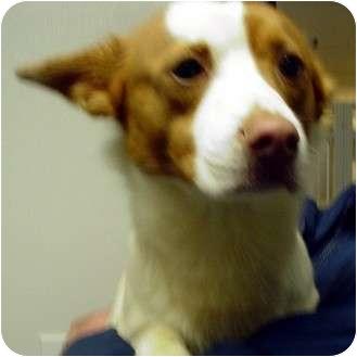Shiba Inu Mix Dog for adoption in Manassas, Virginia - Rascal
