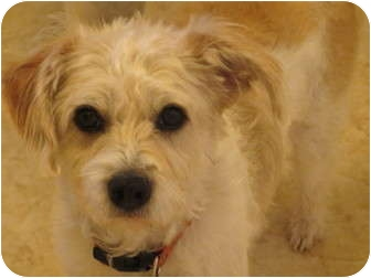 Poodle (Miniature)/Lhasa Apso Mix Dog for adoption in Schertz, Texas - Murray