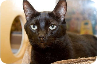 Domestic Shorthair Cat for adoption in Irvine, California - Elliott