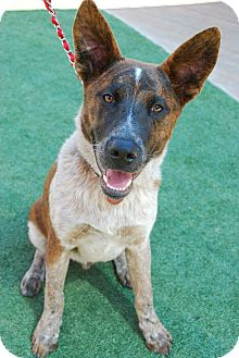 Australian Cattle Dog/German Shepherd Dog Mix Puppy for adoption in Torrance, California - Red