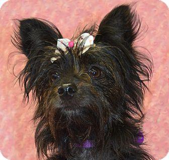Cairn Terrier/Yorkie, Yorkshire Terrier Mix Dog for adoption in Bridgeton, Missouri - Halle