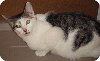 Domestic Shorthair Kitten for adoption in Kensington, Maryland - Sonny
