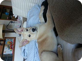 Shepherd (Unknown Type)/Golden Retriever Mix Puppy for adoption in Atascadero, California - Johnny