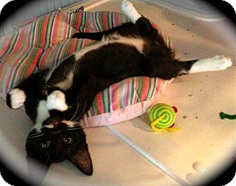 Domestic Mediumhair Kitten for adoption in Deerfield Beach, Florida - Shelton & Steam Roller
