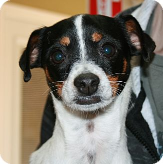 Rat Terrier/Chihuahua Mix Dog for adoption in San Antonio, Texas - Flower