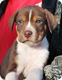 Pointer/English Pointer Mix Puppy for adoption in Starkville, Mississippi - Jackson