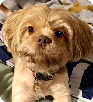 Lhasa Apso Dog for adoption in Killian, Louisiana - Lola