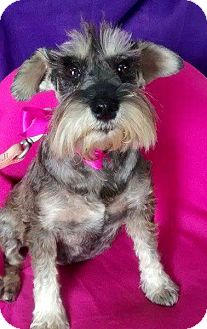 Schnauzer (Miniature) Dog for adoption in Irvine, California - DOLLY
