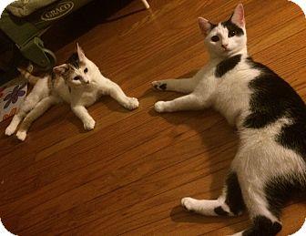 Domestic Shorthair Kitten for adoption in Horsham, Pennsylvania - Daisy & Cali