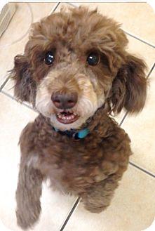 Poodle (Miniature) Mix Dog for adoption in Boca Raton, Florida - Chocolate Chip