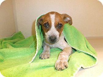 Blue Heeler Mix Puppy for adoption in Milton, New York - Kylie