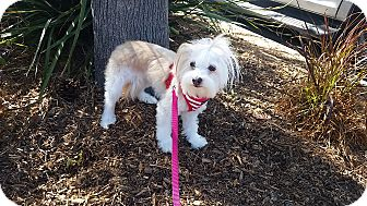 Maltese Mix Dog for adoption in Santa Ana, California - Pika