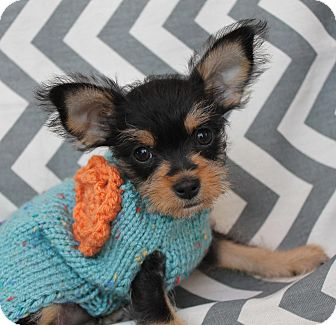 Yorkie, Yorkshire Terrier/Terrier (Unknown Type, Small) Mix Puppy for adoption in Irvine, California - Squirrel