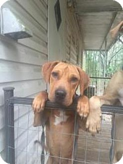 Hound (Unknown Type)/Rhodesian Ridgeback Mix Dog for adoption in New Smyrna Beach, Florida - Samuel