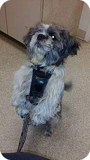 Shih Tzu Mix Dog for adoption in Waterbury, Connecticut - Chewbacca (Chewy)