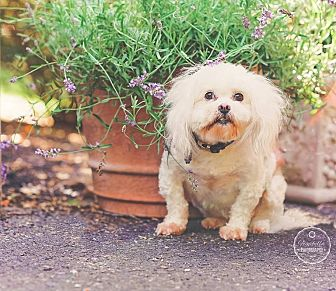 Shih Tzu Mix Dog for adoption in Jacksonville, Florida - Bebe