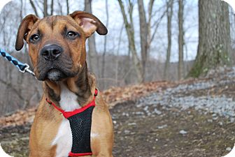 Boxer Mix Puppy for adoption in New Castle, Pennsylvania - Jake