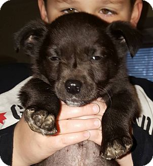 Chihuahua/Feist Mix Puppy for adoption in Lima, Pennsylvania - Bob
