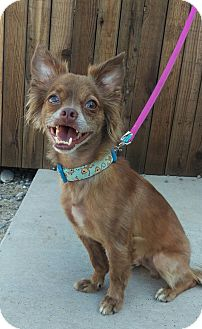 Papillon/Chihuahua Mix Dog for adoption in Apache Junction, Arizona - Monkey
