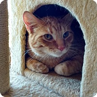 Domestic Shorthair Cat for adoption in Des Moines, Iowa - Oscar