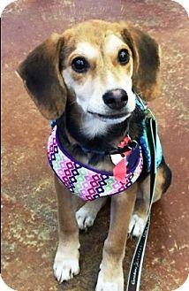 Labrador Retriever/Shepherd (Unknown Type) Mix Puppy for adoption in Warrenville, Illinois - Arya
