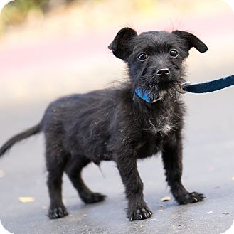 Jack Russell Terrier/Parson Russell Terrier Mix Puppy for adoption in Montclair, California - Gus