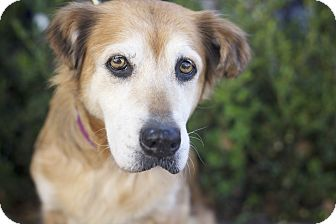 Golden Retriever/Spaniel (Unknown Type) Mix Dog for adoption in Los Angeles, California - PomPom