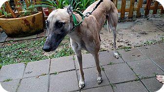 Greyhound Dog for adoption in Nederland, Texas - Slatex Gold Rush (Rush)