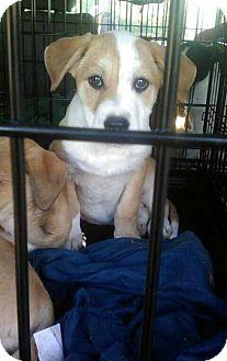 Shepherd (Unknown Type)/Bernese Mountain Dog Mix Puppy for adoption in Staunton, Virginia - Marlo pups