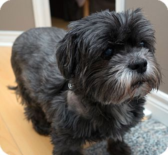 Shih Tzu Mix Dog for adoption in Toronto, Ontario - Diablo