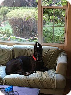 Great Dane Dog for adoption in Newport Beach, California - Mufasa