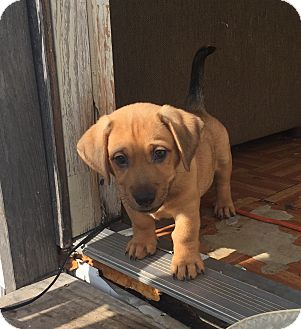 Labrador Retriever/Dachshund Mix Puppy for adoption in Redmond, Washington - Rotor