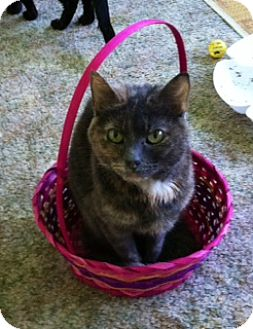 Domestic Shorthair Cat for adoption in Marlton, New Jersey - Maria (declawed)