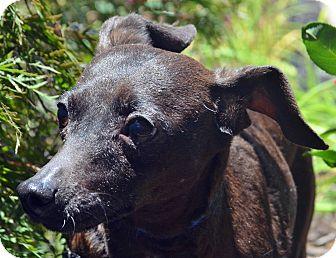 Miniature Pinscher/Italian Greyhound Mix Dog for adoption in Bridgeton, Missouri - April
