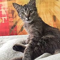 Domestic Shorthair Cat for adoption in Washington, D.C. - Helen