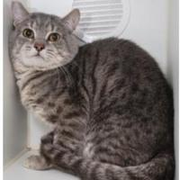 Domestic Shorthair/Domestic Shorthair Mix Cat for adoption in Frazier Park, California - Middin