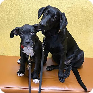 Labrador Retriever Mix Puppy for adoption in santa monica, California - DeeDee
